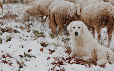 I am a sheepdog – um, S Type personality